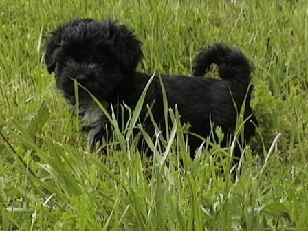 black havanese puppy in new york