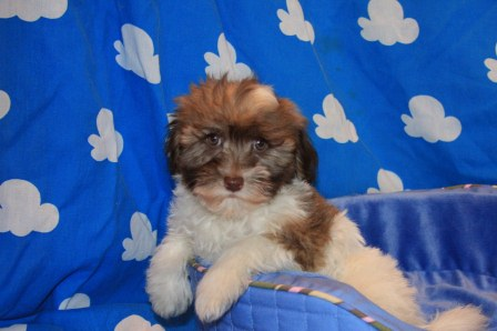 new york havanese puppy