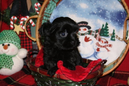 havanese puppy in new york