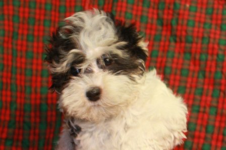 cute havanese puppy in new yokr