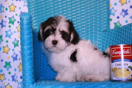 boston havanese puppies
