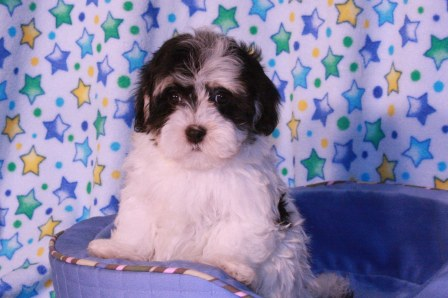 boston havanese puppies in new york