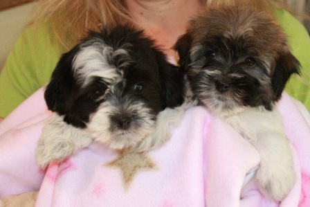 two havanese puppies in hand