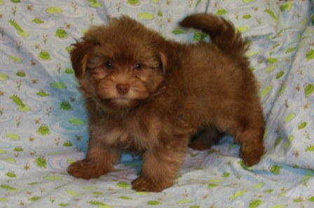 light chocolate havanese puppy in New York