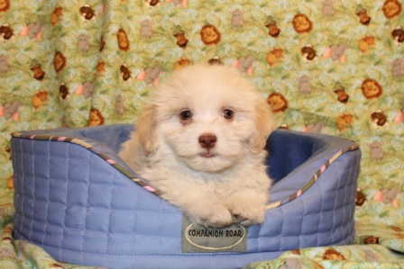 male havanese puppy