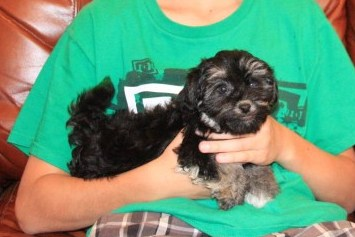 mnanhattan havanese puppy in new york