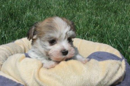 new york havanese puppy in new york
