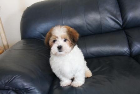 new york havanese puppy for sale on blue couch