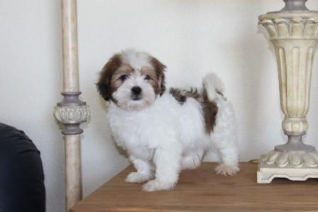 new york havanese puppy on table