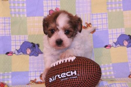 new york havanese puppy on couch