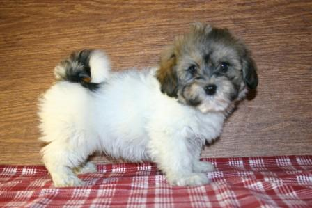 new york havanese breeder in new york