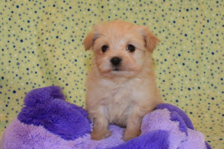 champagne havanese puppy in new york