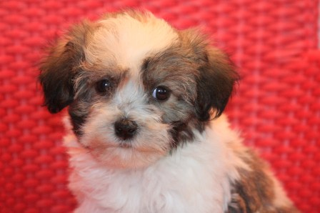 havanese puppies in new york