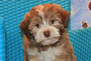 sable havanese puppy in new york