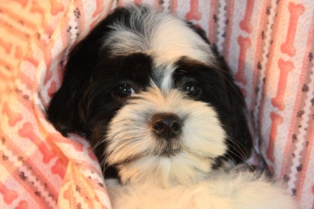 florida havanese puppy in new york