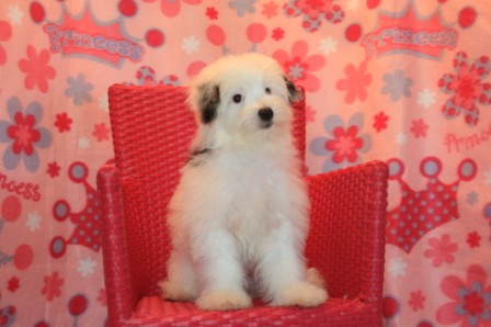female havanese puppy in new york